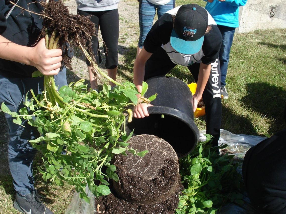 Home Economics 8 & Grade 9 students harvesting their Spuds in Tubs