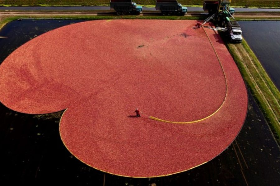 Spotlight on Cranberries: Cranberry Conundrums